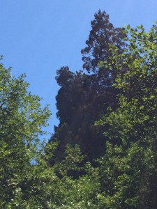 Tall reiterated crown above Lost Man Creek