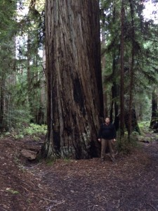 Another nice redwood in the Montgomery grove. That's me by the tree.
