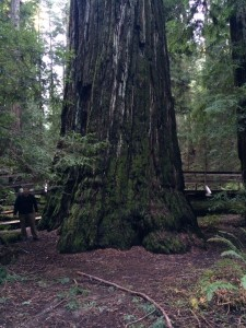 Big tall redwood in Montgomery Grove.  On some days I would get wet standing where I am but not on this day.