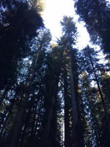 Incredibly tall Montgomery Reserve redwoods with tops lit up by late afternoon sun