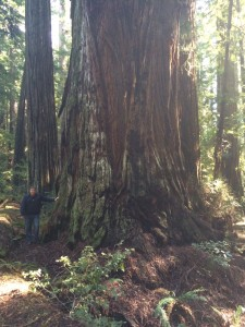 Base of 373 foot redwood. Diameter is over 17 feet