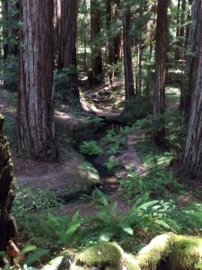 Start of lower flat in Montgomery Redwoods