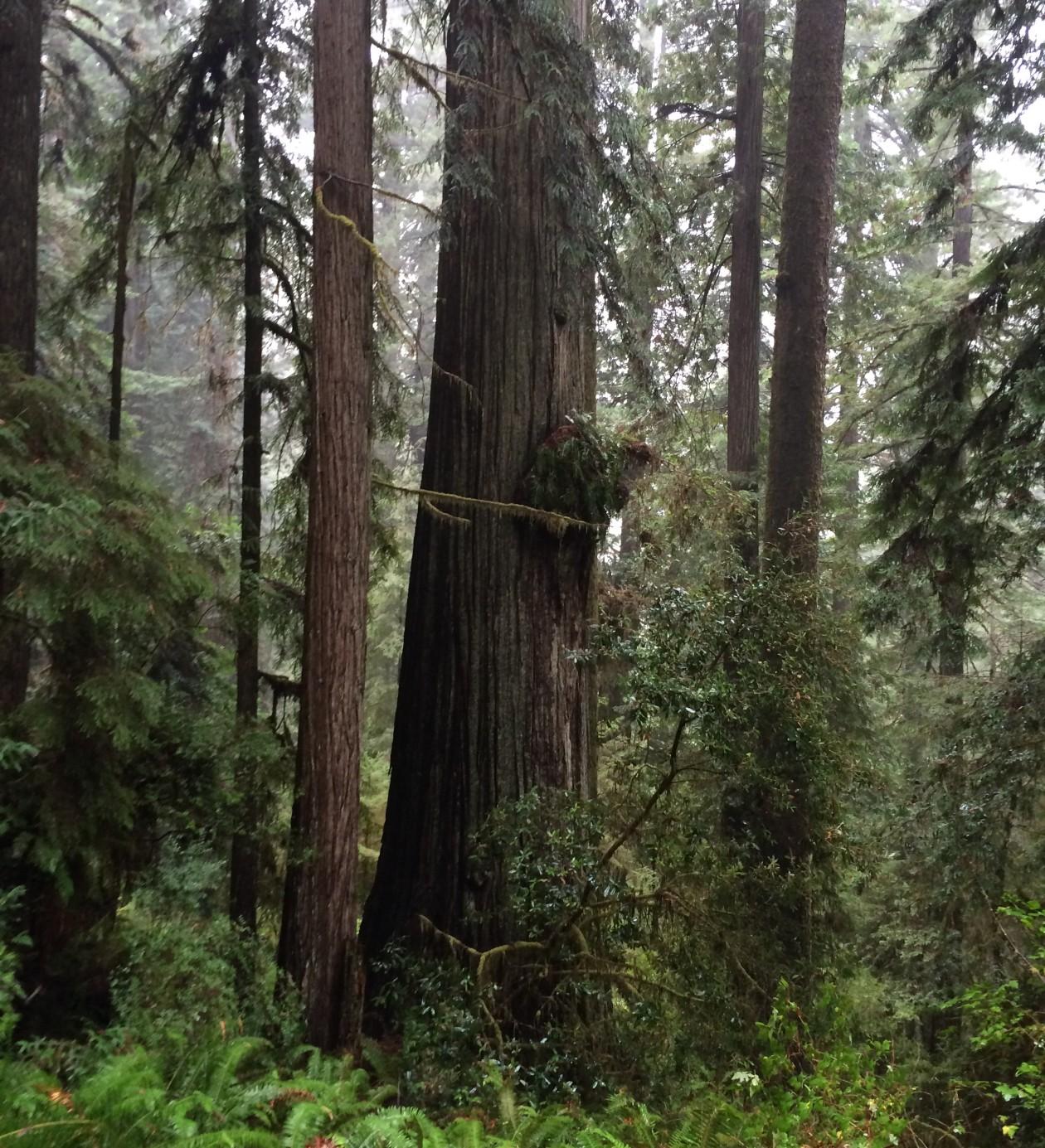 redwood tree height