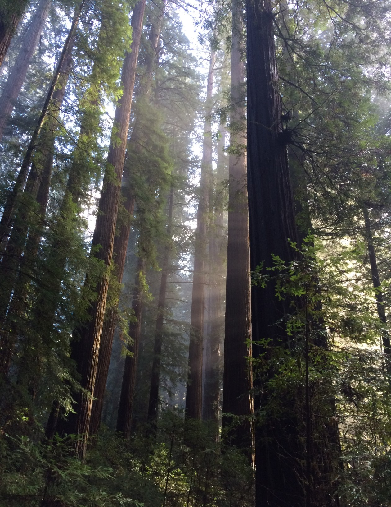 verylargeandtallredwoods
