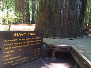 Giant Tree. About nine feet shorter than the sign says.