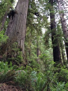 Tall redwoods growing along schist filled bench above Lost Man Creek