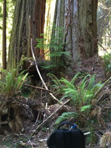 Tall redwoods growing on schist filled bench above Redwood Creek tributary