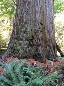 Redwood Creek Giant - no height change