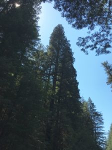 Tall redwood along Bull Creek