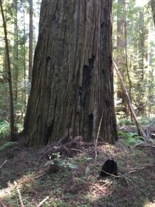 Nice redwood mid Bull Creek Flats south side