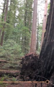 Harper Flat fallen tree, north side of pair (still from I Phone video)