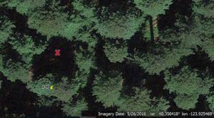 Founders Grove - space left by fallen tree marked by X. (image from Google Earth)